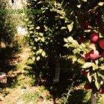 """Vezi, astea sunt mere!"""