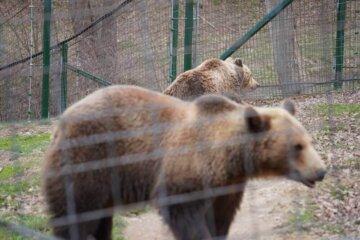 2 ursi bruni in natura