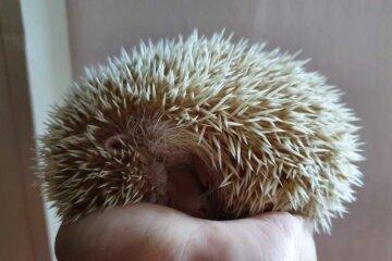 hedgehog sleeping in hand